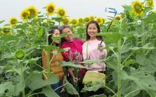 Ngày hội Hoa hướng dương ở Nghĩa Đàn  không chỉ là ngắm hoa