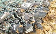 Tận diệt chim én ở Nghĩa Đàn