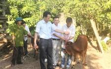 Trao bò sinh sản cho hộ nghèo