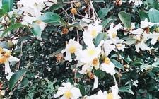 Hút hồn mùa hoa sở Nghĩa Đàn