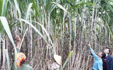 Giống mía KK3 trồng ở Nghĩa Thịnh đạt năng suất 150 tấn/ha