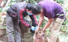 Nghĩa Đàn tiêm phòng dại cho hơn 20 nghìn con chó