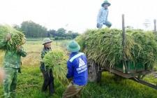 Thời tiết nắng nóng thanh niên ra quân giúp dân gặt lúa