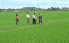 Nghĩa Đàn tập trung nhân lực phòng chống bệnh lùn sọc đen phương nam trên cây lúa