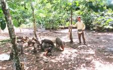 Trồng cao su lấy quả nuôi lợn Mán cho thu nhập cao