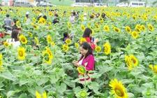 55 ha hoa hướng dương sẽ khoe sắc vào cuối tháng 12