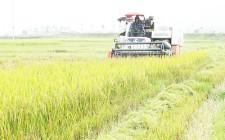 Nông dân Nghĩa Đàn đưa cơ giới hóa vào thu hoạch lúa