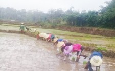 Hơn 20 chị em giúp hội viên khó khăn cấy lúa