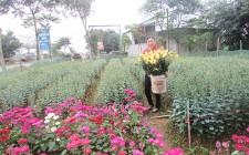 Người trồng hoa Nghĩa Đàn bán hoa tết sớm