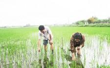 Nông dân chủ động phòng ốc bươu vàng phá lúa vụ xuân