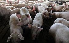 Dịch tả lợn châu Phi có ảnh hưởng tới con người?