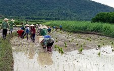 30 chị em phụ nữ giúp hội viên khó khăn cấy lúa
