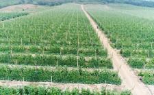 Nông dân Nghĩa Đàn trồng bí xanh cho hiệu quả kinh tế cao