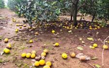 Nông dân Nghĩa Yên khốn khổ vì cam chưa kịp thu hoạch đã rụng