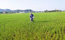 Nông dân Nghĩa Đàn tập trung chăm sóc lúa Xuân