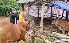Nghĩa Đàn khống chế không để lây lan bệnh viêm da nổi cục trên trâu bò