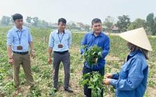 Nghĩa Đàn hơn 300h sắn mới trồng bị bệnh khảm lá