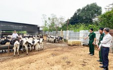 Hiệu quả bước đầu từ nuôi bê đực sữa lấy thịt