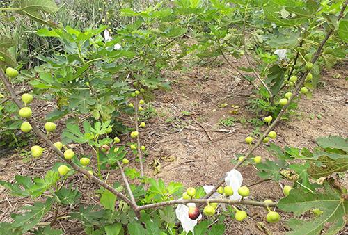 Chàng thanh niên với khát vọng đưa cây đặc sản thế giới về đất Nghĩa Đàn